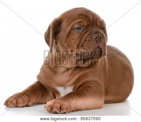 cute puppy - dogue de bordeaux puppy laying down on white background