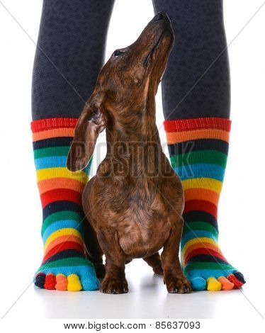 dog sitting with owner - cute dachshund puppy sitting between owners sock feet on white background