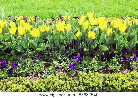 Yellow Tulips And Pansies On The Flowerbed