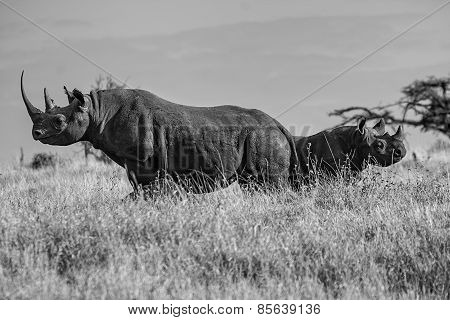 Black White Rhino Mother and Baby