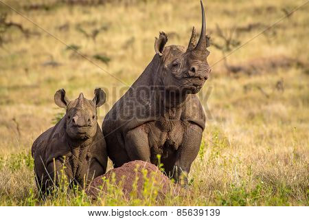 Black White Rhino Mum and Baby on Termite Hill