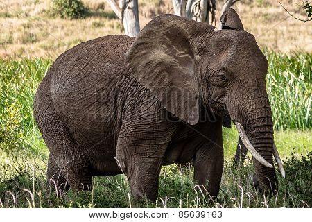 Isolated Elephant