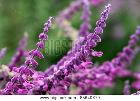 Flowers Of Salvia