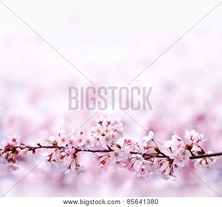 A branch of cherry blossoms with plenty of copy space. A straight branch of cherry blossom with beautiful pastel pink background. Shallow depth of field.