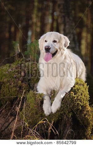 beautiful cream white golden retriever dog in the forest