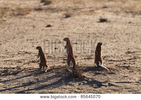 Squirrels From South Africa