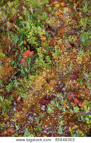 Mosses and lichens on swamp in Finland