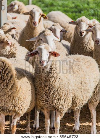 A Flock Of White Sheep