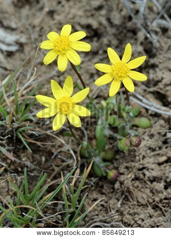 Goldstar - Crocidium multicaule