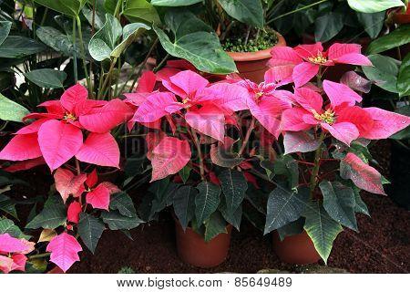 Fairest Poinsettia, Euphorbla Pulcherrima, Christmas Star