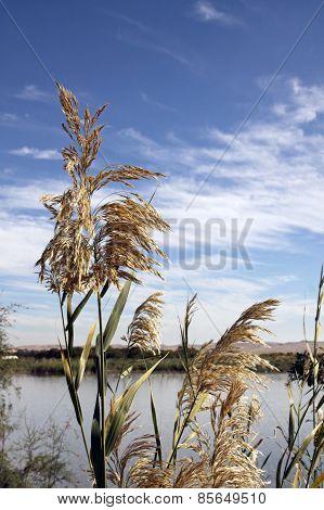 Common Reed, Phragmites Australis