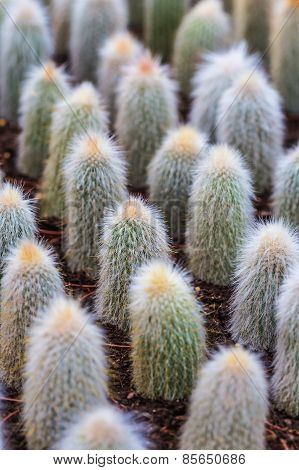 Number Cactuses Growing In Pots