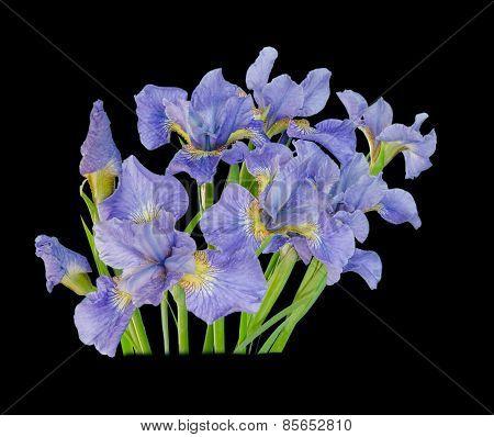 Bouquet Iris Flower Isolated On Black Background