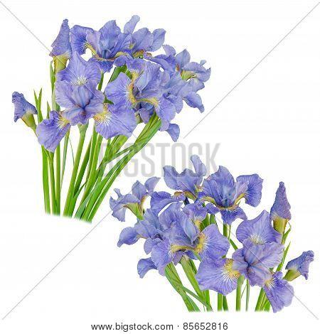 Set Blueflag Or Iris Flower Isolated On White Background