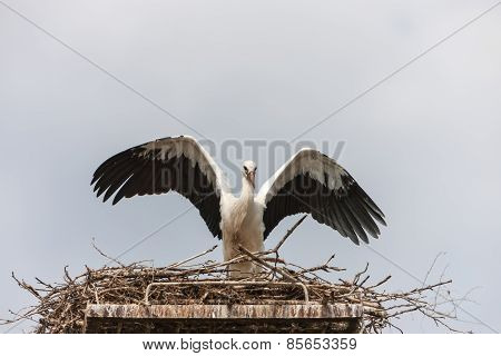 White stork in the nest