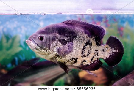 Beautiful Aquarium Fish Astronotus