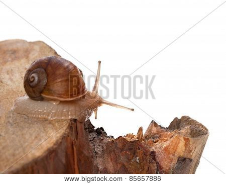 Little Snail On Pine-tree Stump. Isolated On White Background