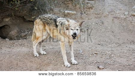 A Mexican Gray Wolf Snarls A Warning Outside Its Den