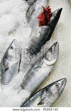 Acorns/palamut/seafood
