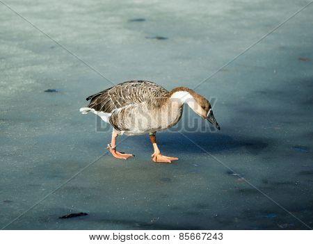 Wild Goose Walking On Melted Lake Surface