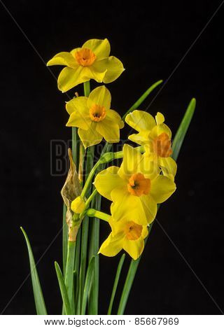 Bi-color Daffodils Against Black Background
