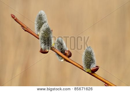 Spring. Willow Catkins Closeup