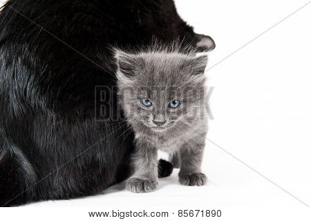 Grey Kitten And Its Black Mother