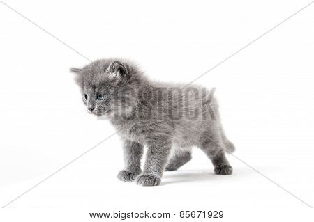 Grey Kitten On A White Background