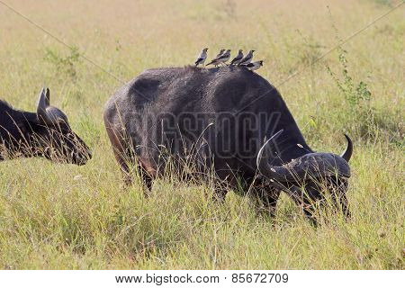 Group Of Yellow-billed Oxpeckers On An African Buffalo