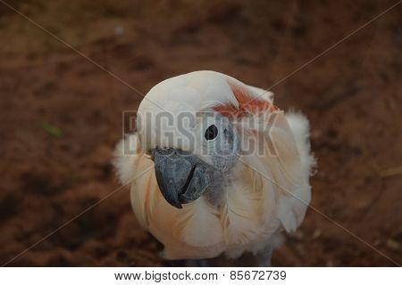 Confused Cuckadoo