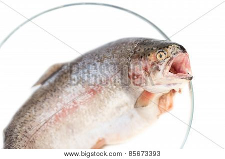 Trouts Fish