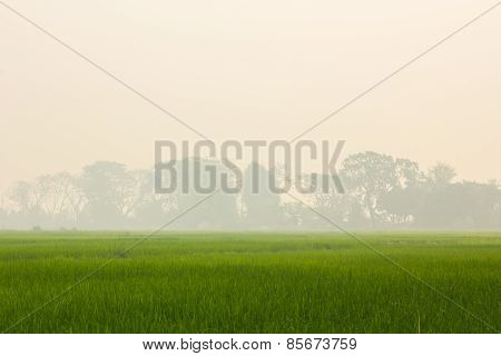 Gren Rice Field With Background Of Smoke