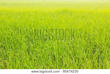 Off-season Fresh Paddy Field