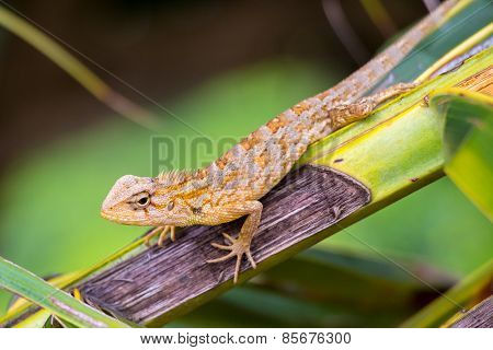 Common Garden Lizard - Sri Lanka