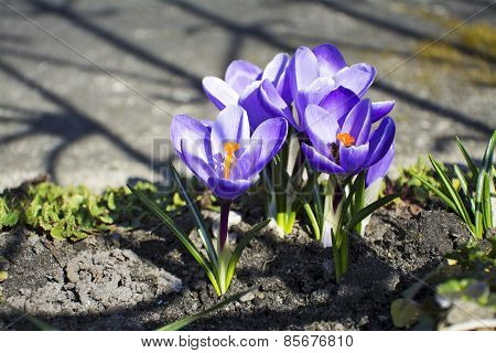 Purple Crocuses In Spring Garden