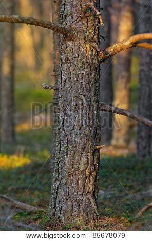 Strong Confirious Tree During Evening Light