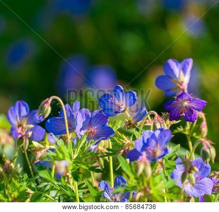 Perennial Geraniums