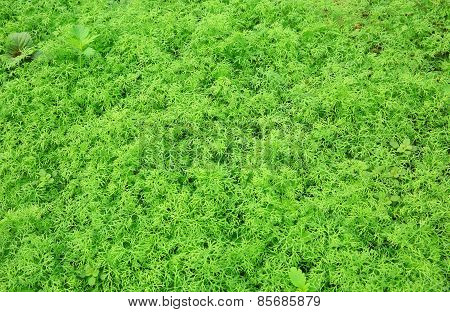 green carrot plants in growth at vegetable garden