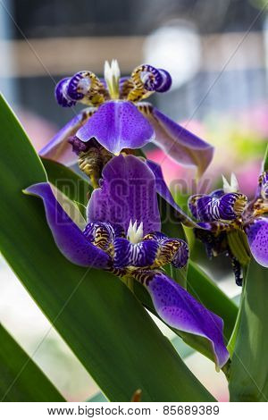Walking Iris On Nature Background