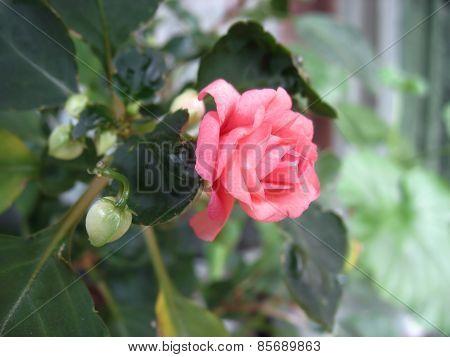 Pink impatiens flower - balsamine