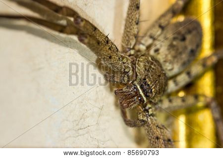 Brown Huntsman Spider On Frame
