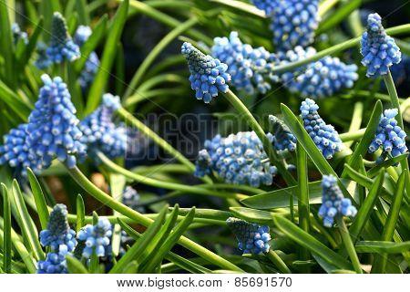 Pretty Blue Muscari Or Grape Hyacinth
