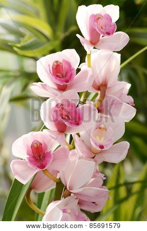 Flowering Pink Cymbidium Orchid