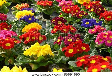 Colorful Vibrant Selection Of Spring Primroses