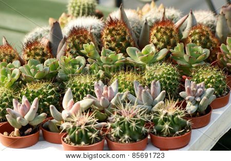 Tray Of Small Potted Cacti