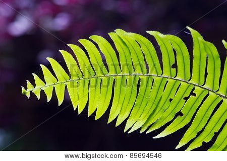 Green Fern in tropical forests.