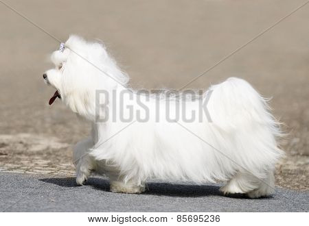Maltese Terrier Walking