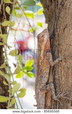 Agamidae, Lizard On Tree