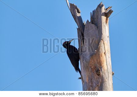 Woodpecker On Deadwood