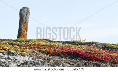 Arctostaphylos alpinus, red bear-berry on a rocky ground.